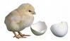gambar ayam mesin penetas telur